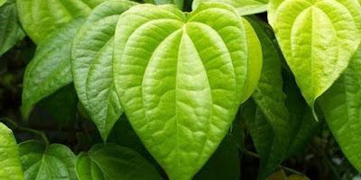 cara mengobati sipilis atau gonore dengan daun sirih