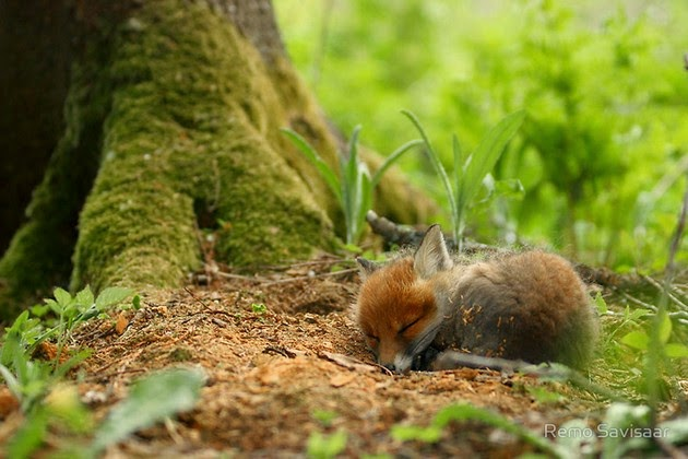 heartwarming photos of foxes-3