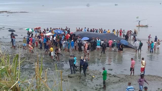 Morre baleia encontrada encalhada em praia de Salvador