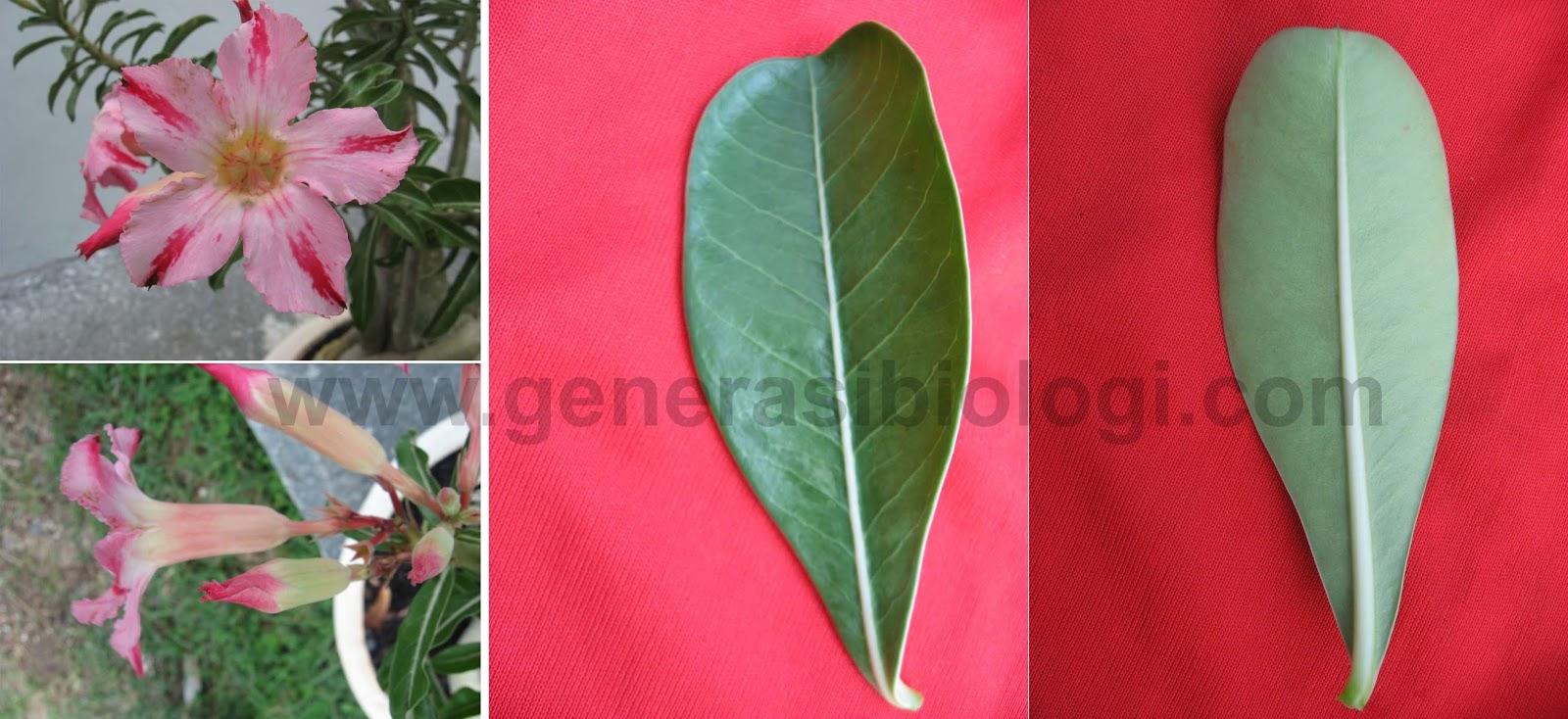 Nama latin adenium klasifikasi morfologi dan deskripsinya rumus bunga k5 c5 a5 g1 diagram bunga ccuart Image collections