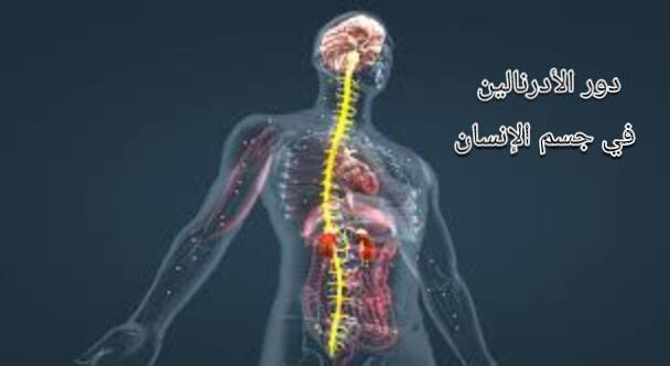 الأدرنالين ودوره وتأثيره على جسم الإنسان في حياتنا اليومية
