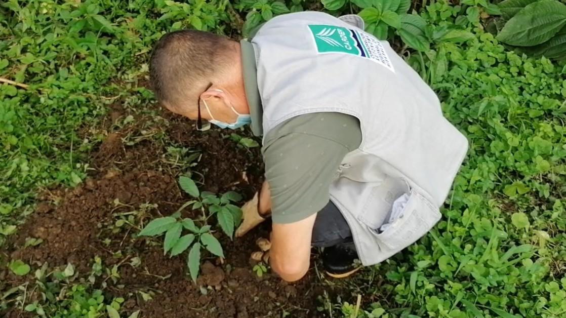 Con 420 guayacanes suministrados por la CARDER, avanza reforestación en Dosquebradas