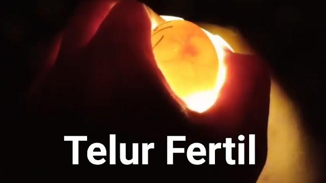 Telur Ayam Fertil