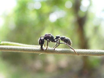 10. Bullet Ants