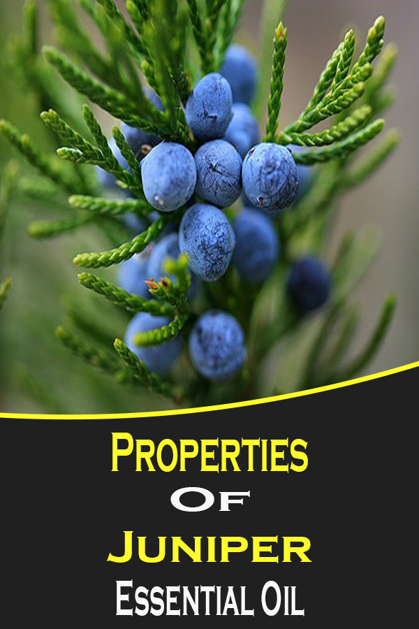 The properties of the essential oil of juniper are explained by the presence of active compounds originally present in the berries of Juniperus communis .