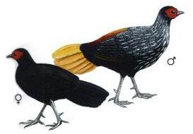 Ternak Ayam Sempidan Merah Sumatera