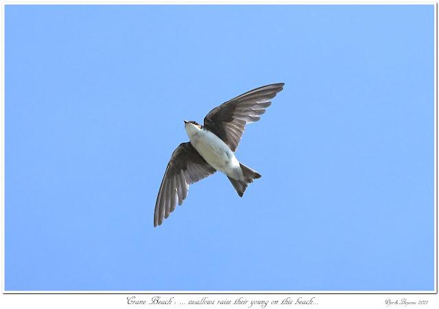 Crane Beach: ... swallows raise their young on this beach...