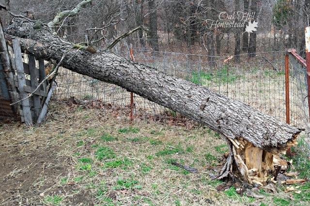 Fallen oak tree in the goat pen