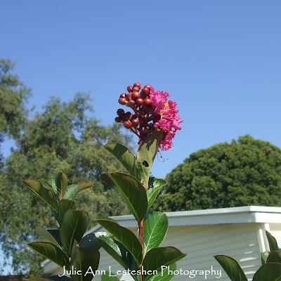 miss sandra crape myrtle fuchsia blossom