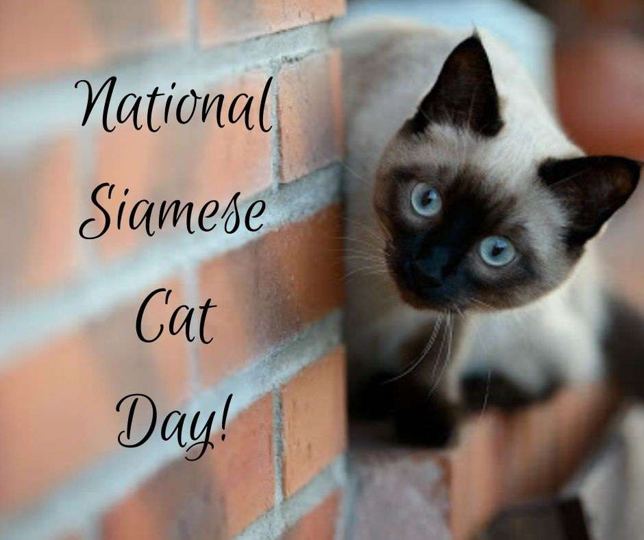 National Siamese Cat Day Wishes Awesome Picture
