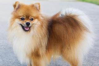 PeekaPoo Pomeranian Mix Personality, Size, Temperament, Growth
