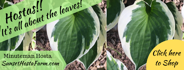 Sunset Hosta Farm.com sale Minuteman Hosta