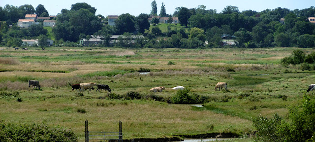Cattle grazing on the saltmarsh, Charente-Maritime. France. Photo by Loire Valley Time Travel.