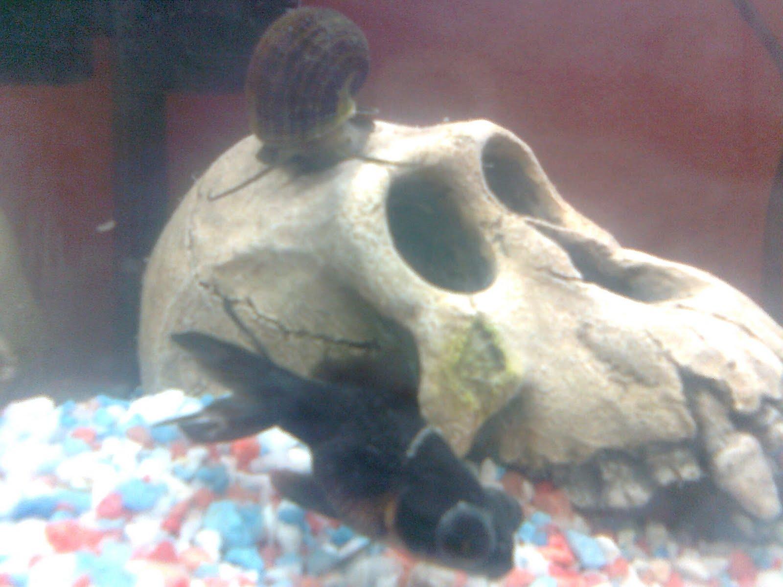 Mi primer acuario ojitos y un caracol manzana for Carpa koi costo