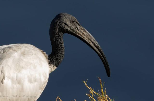 African Sacred Ibis Portrait Woodbridge Island Vernon Chalmers Photography