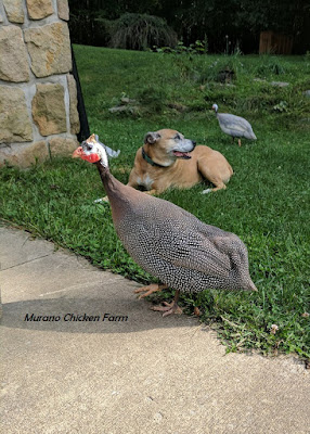 Guinea fowl that are friendly
