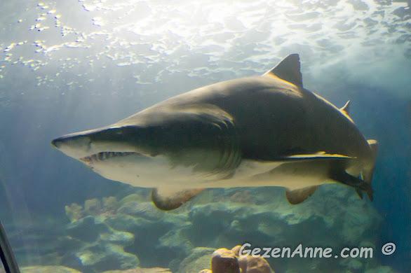 Turkuazoo'daki birçok köpek balığından biri, Forum İstanbul