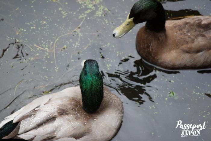 Colverts dans l'étang, sanctuaire Usa-jingû, Oita