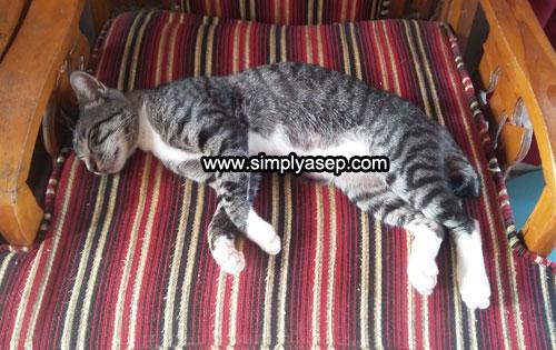TERLELAP : Inilah Kucing yang sekarang sering tidur di rumah saya. Entah siapa pemilik kucing ini.  Biar pun suka nyolong ikan, namun saya dan anak anak sangat suka dengan kucing ini. Foto Asep Haryono