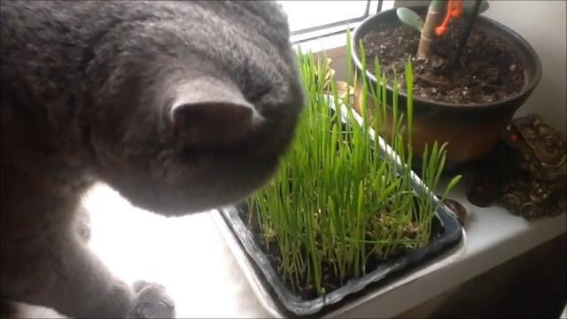 Как вырастить траву для кошки дома .