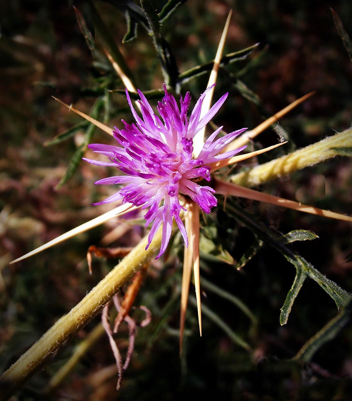 Centaurea Calcitrapa - Alfonsoyamigos