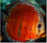 Sejarah Ikan Hias Discus jenis ikan hias