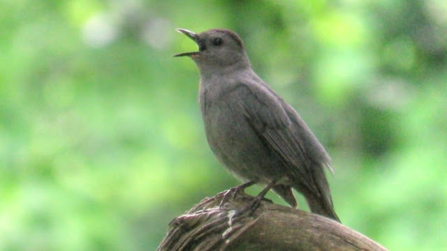Gray Catbird Singing