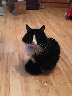 A fluffy black and white cat sits calmy on the floor with his tail wrapped around his feet.