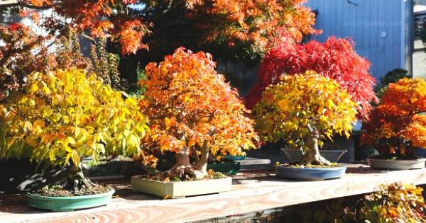 Spesies Pohon Bonsai Berdaun Warna Cerah