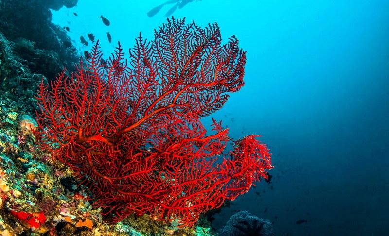 Η «μαφία» των κοραλλιών