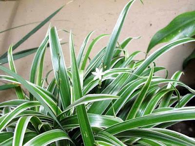 15 cây ngải thường được nuôi trồng làm cảnh ít ai biết