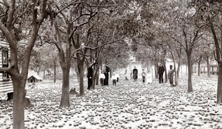 1895 photo of people standing in frozen orange grove with fruit on the ground