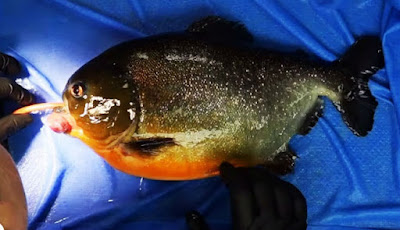 Operasi ikan piranha