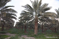 The Zorganika organic date plantation is located on the banks of the Jordan River