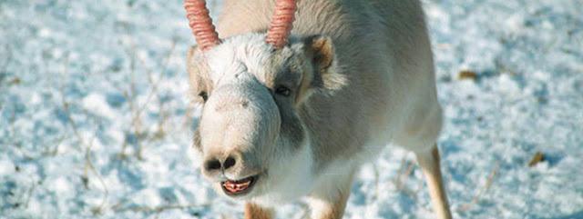 Saiga, antilope, benfield, virus, steppe eurasienne., PPRV.