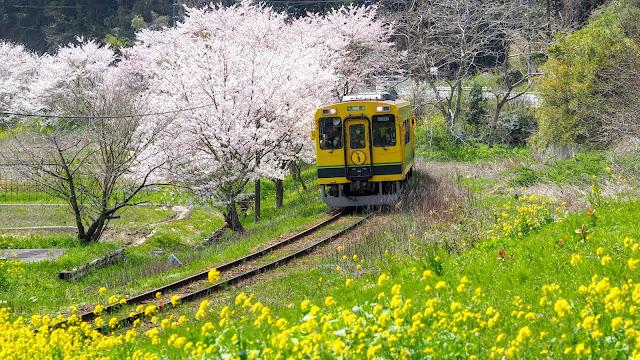 いすみ鉄道と小湊鐡道に沿って房総半島を外房から内房に横断するサイクリングコース。桜と菜の花が咲く春がオススメ!