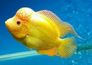 Gambar Ikan Louhan Golden Base Berkualitas