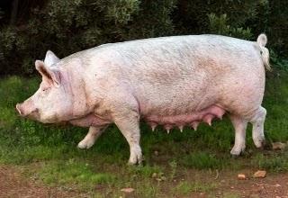 The pig war, war of pig