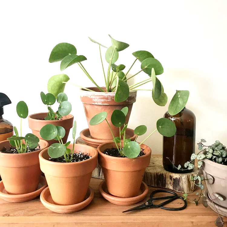 Mod and Mint: The Pilea Peperomioides. And why we will have too many. Photo @pine.and.birch