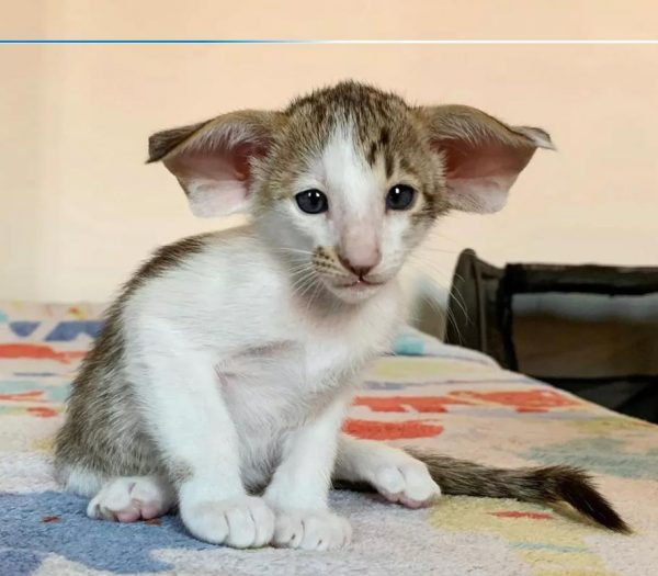 Котенок родился ушастым и зубастым. Он отпугивает потенциальных хозяев и уже устал от одиночества…