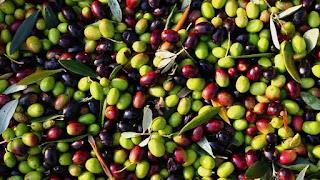 سوق ڨرمدة يسجل إرتفاعا في سعر الزيتون