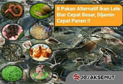 pakan alternatif ikan lele
