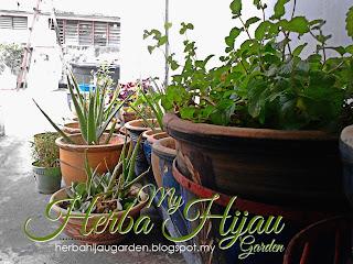 Permulaan untuk projek herba di www.herbahijaugarden.blogspot.my