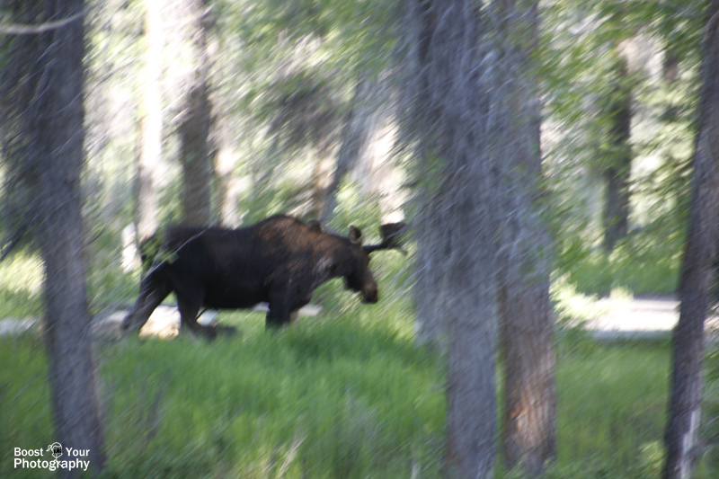 Panning a Moose - Capturing Motion in Photography | Boost Your Photography
