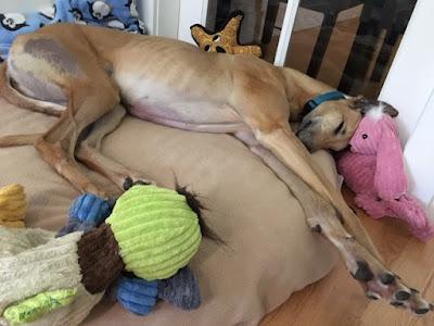 Sabrina the Greyhound