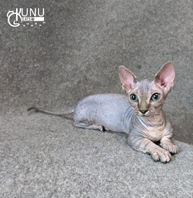 Kucing Bambino 3 Bulanan