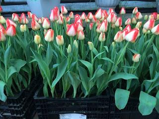 8  giống hoa tulip phù hợp trồng vụ đông miền Bắc