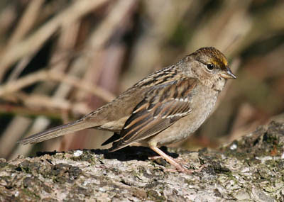 Photo of immature Golden-crowned Sparrow on pine branch
