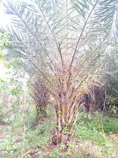 Gambar pohon palm kenari harga paling murah