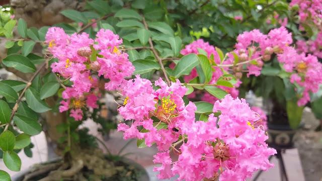 hoa tuong vy hong